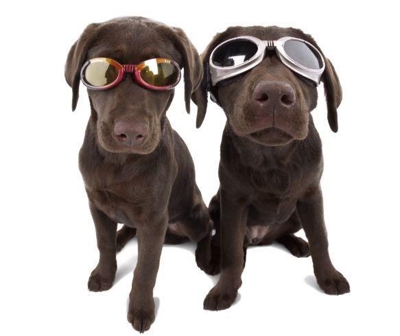 Os óculos de sol para cães são mais que enfeites, são acessórios essenciais para manter a saúde de seu animalzinho (Foto: Divulgação)