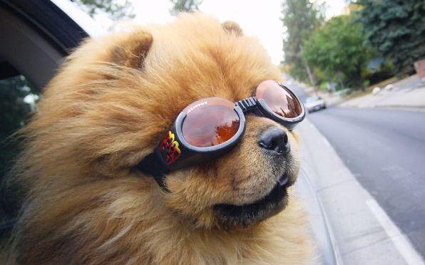 Conheça os Óculos de Sol para Cães 7 - Dicas de Moda 8b27020a1d